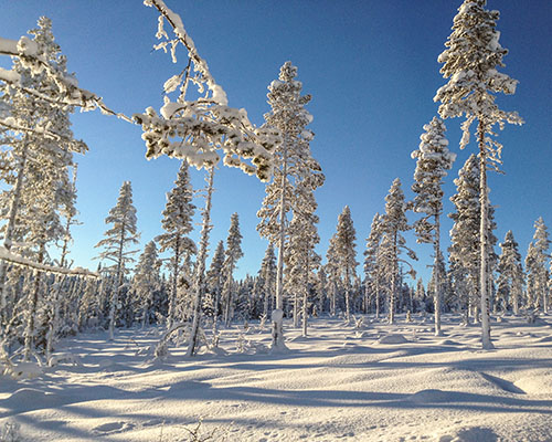 swedish lapland forest covered in snow