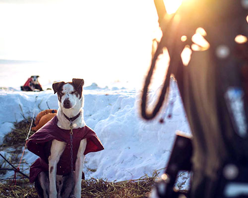 Husky in a jacket with sunlight behind