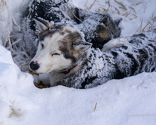 Husky sleeping hole