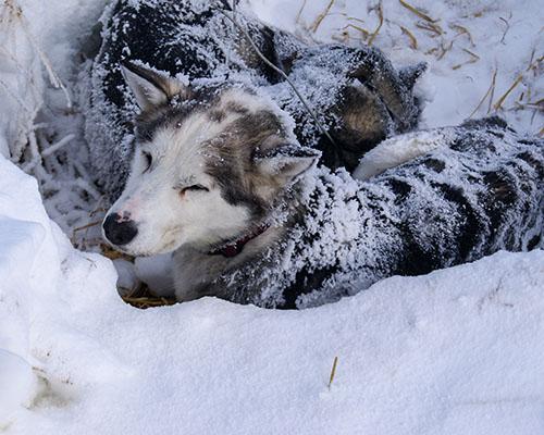 Husky dog sleeping hole covered in snow