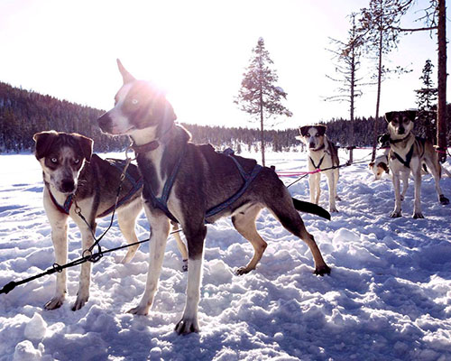 Huskies harnessed to sled in snow