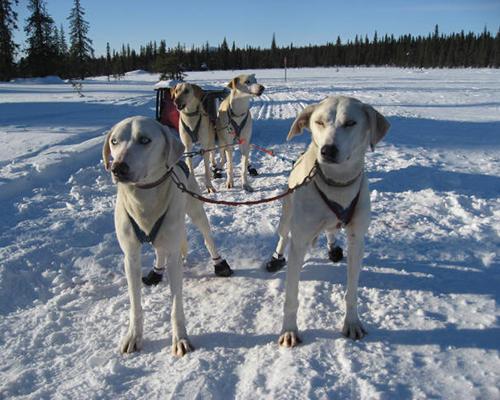 husky dogs in sweden sledding
