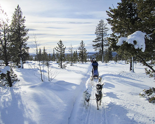 person driving a dog sled in sweden through forest