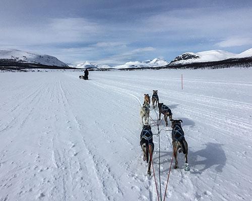 Husky dogs sledding