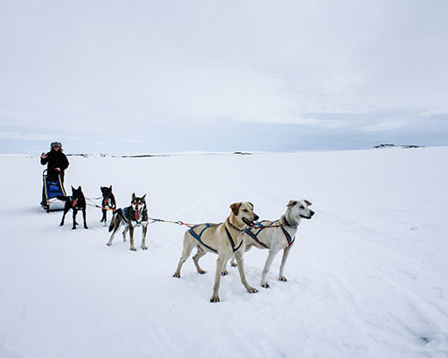 Musher and dogs on the tundra