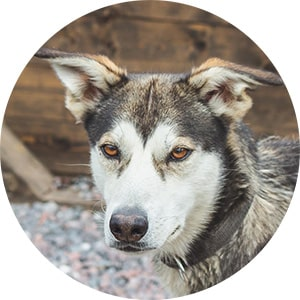 Brown dog husky in Swedish kennel