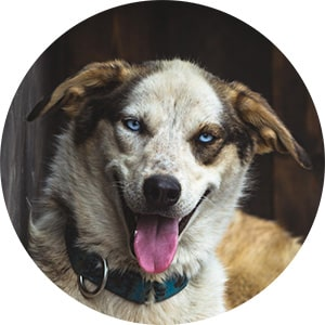 Fluffy husky dog at a Swedish kennel