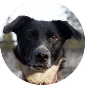 husky dog in Swedish kennel