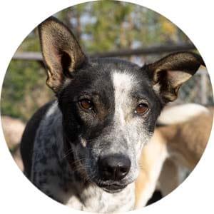 husky dog at a Swedish kennel