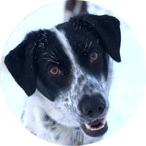 Brown dog husky in Swedish kennel